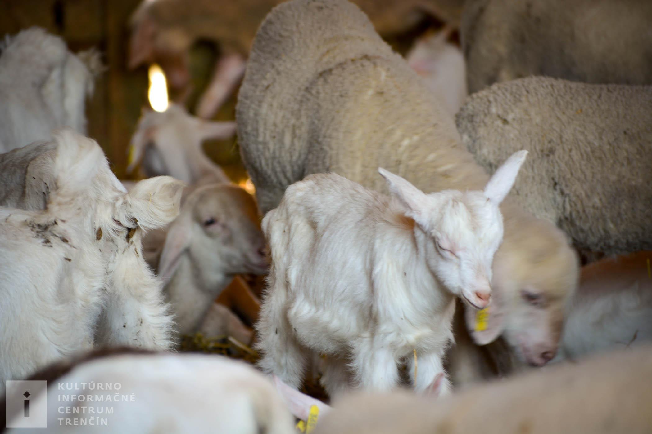 Na gazdovstve Uhliská chovajú aj kozy a ovce. Mlieko, mliečne výrobky alebo mäso si môžete vychutnať v miestnej reštaurácii alebo hostinci.