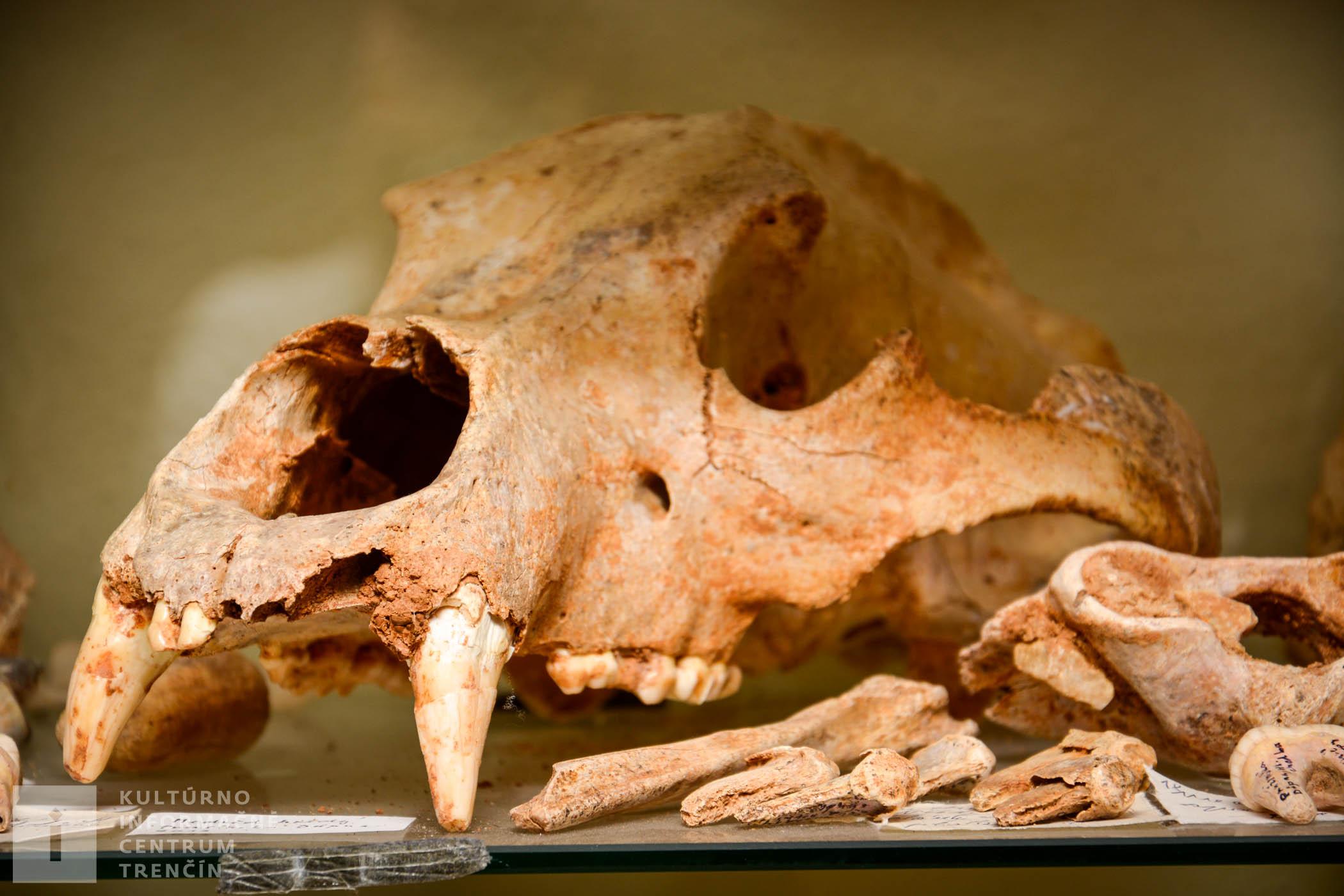 Najstaršími nálezmi sú kosti a lebky jaskynných medveďov a levov spred asi 80 tisíc rokov, ktoré vám jaskyniari radi ukážu.