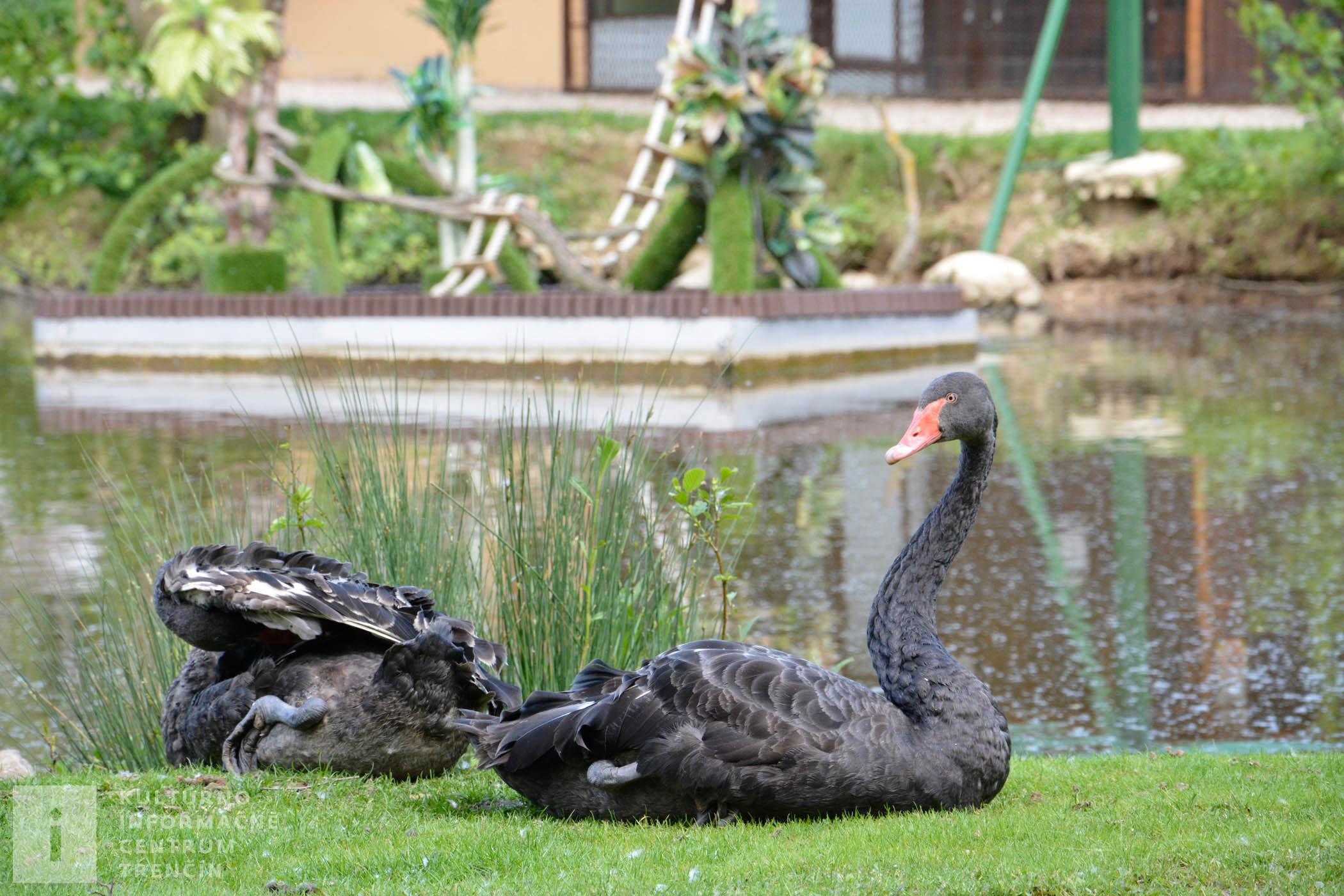 Vzácne čierne labute chovajú aj na Ranči pod Babicou
