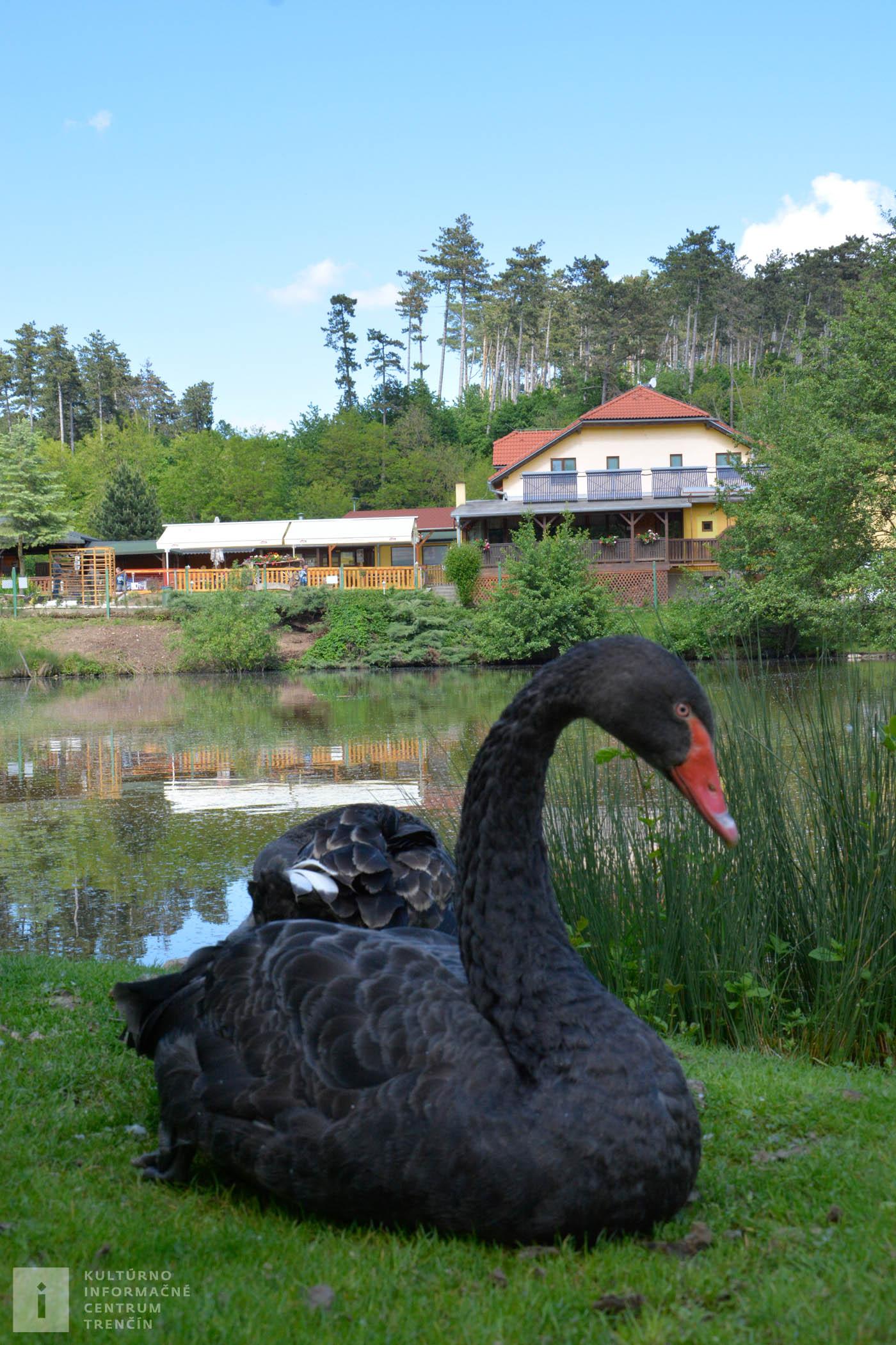 Vzácne čierne labute majú svoj domov aj na Ranči pod Babicou