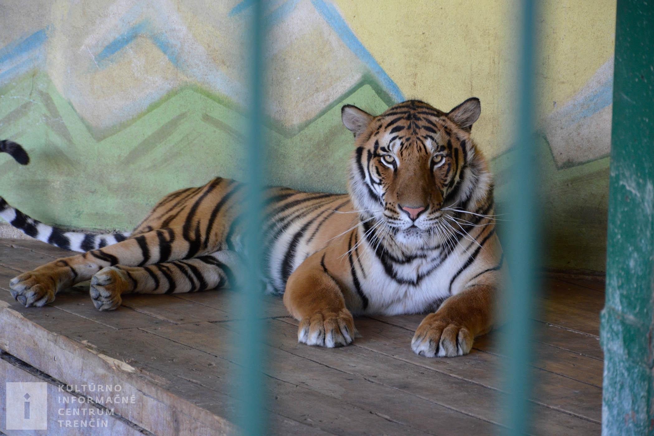 Tiger bengálsky sa vyskytuje v južnej a východnej Ázii