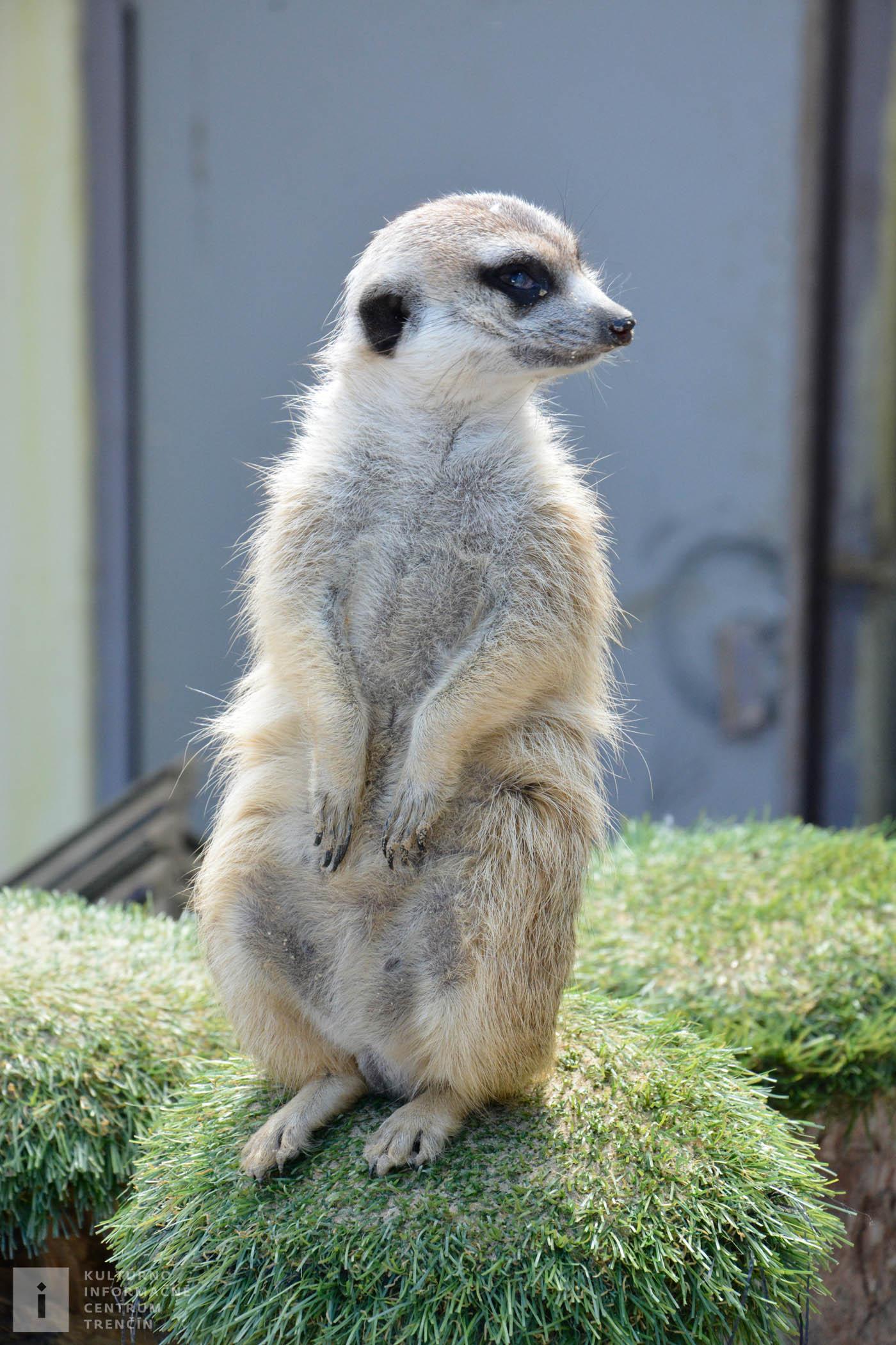 Roztomilé surikaty