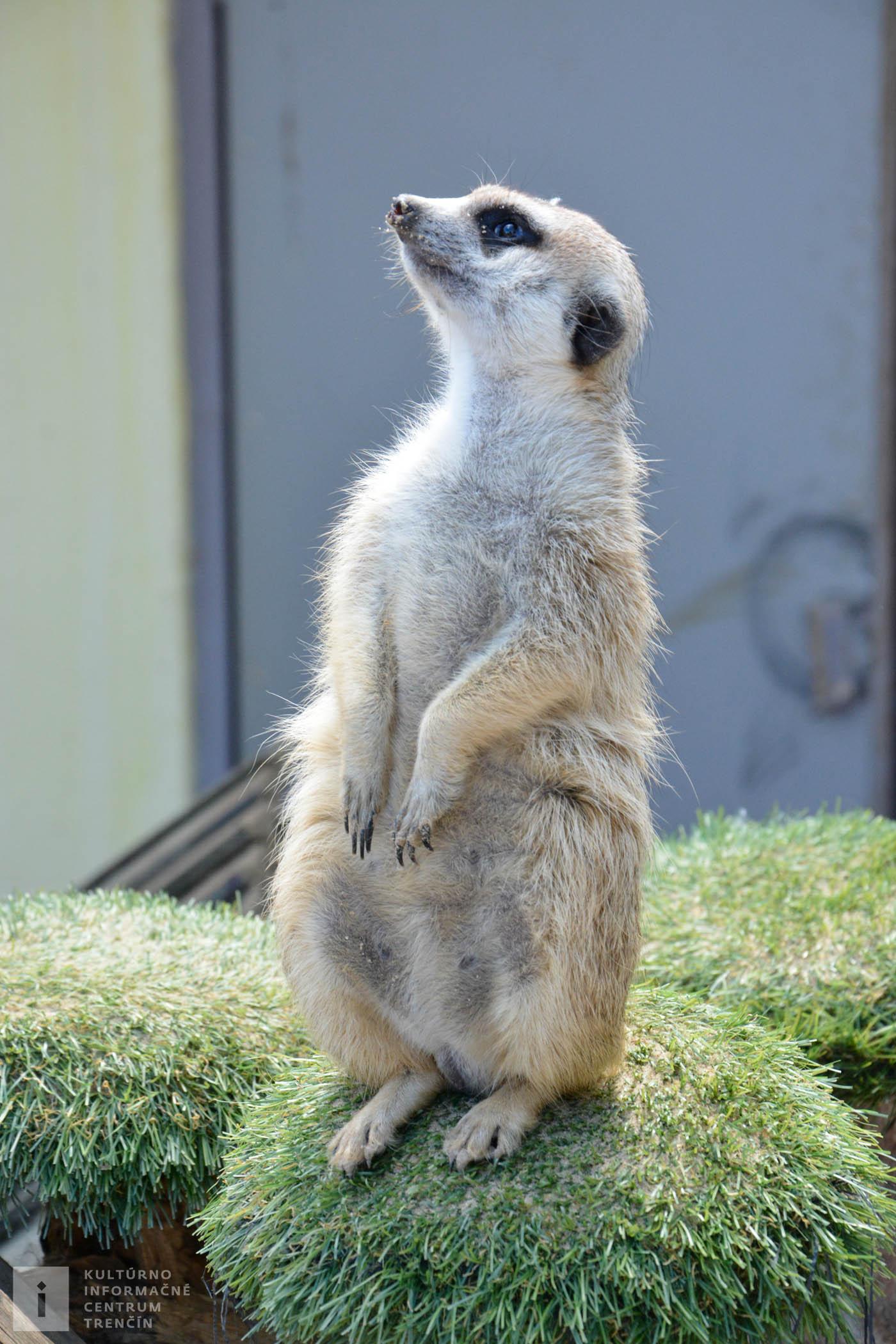 Surikata dosahuje dĺžku tela 25 - 35 cm a hmotnosť 700 g a pochádza z južnej Afriky.
