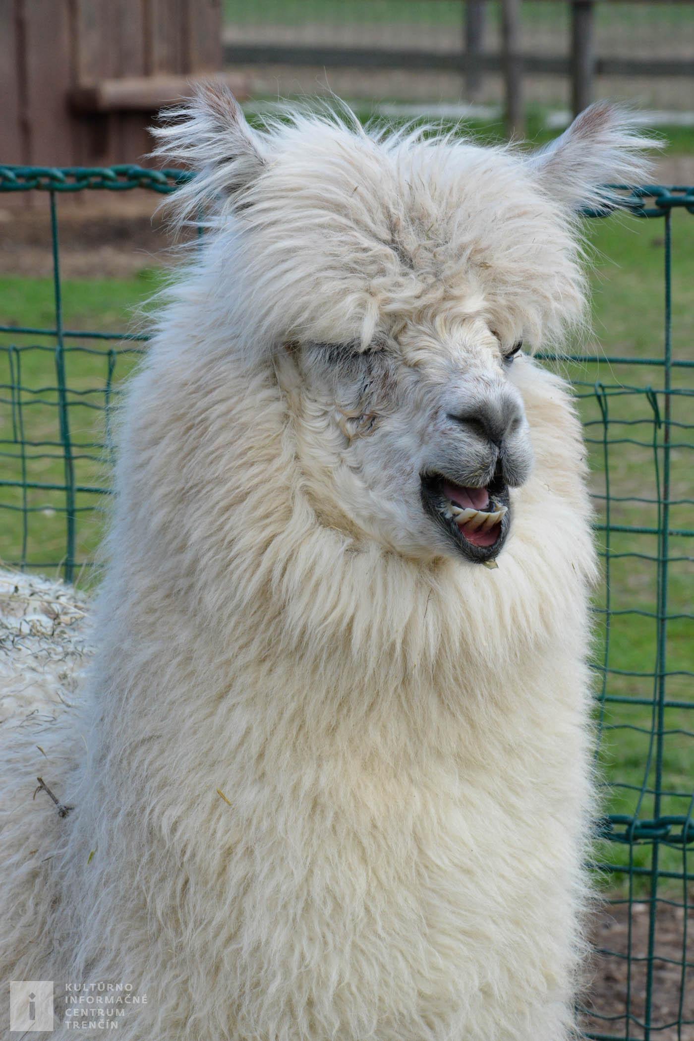 Lama Alpaka pochádza z južnej Ameriky, prispôsobila sa životu v horských oblastiach Ánd.