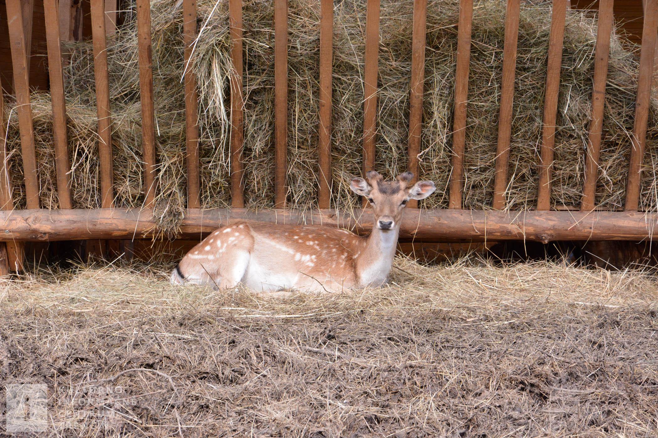 Na ranči nechýba ani lesná zver, napr. Daniel škvrnitý sa tu chová už od roku 2008