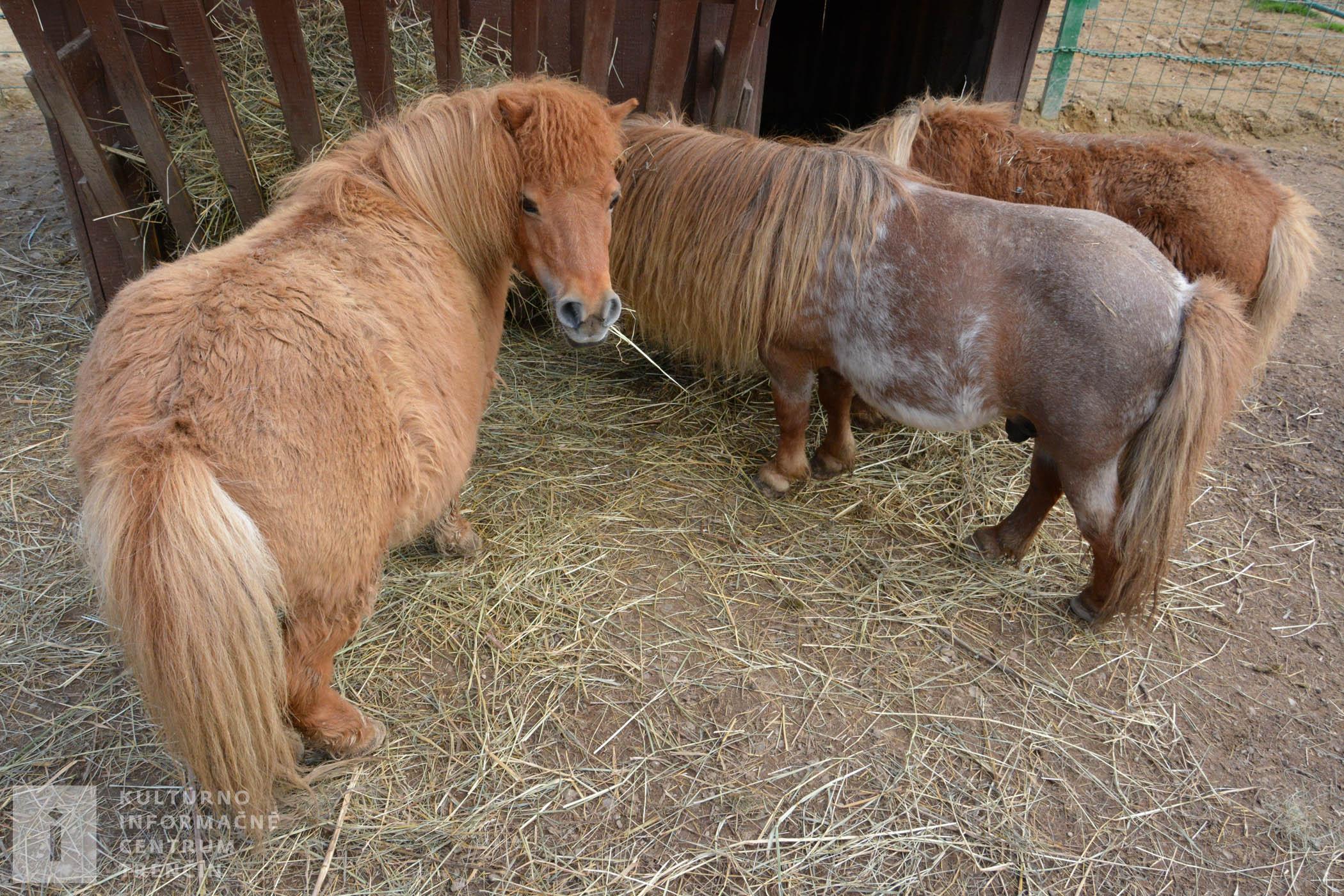 Koníky Falabella patria medzi najmenšie plemeno koňa na svete, na Ranči pod Babicou ich chovajú od roku 2010.