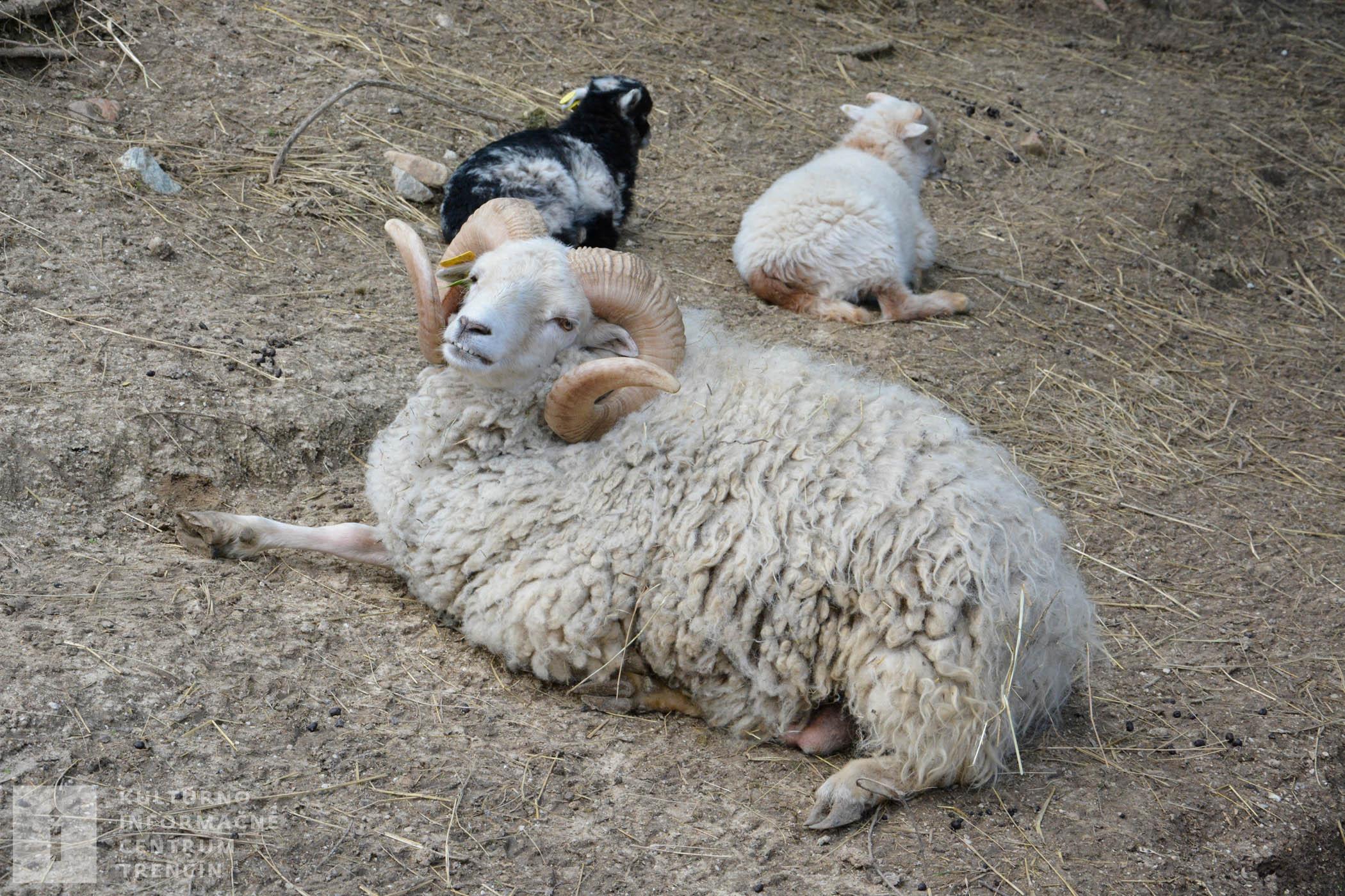V zverinci chovajú ovce plemena Quessant, ktoré patrí medzi najmenšie na svete už od roku 2007.
